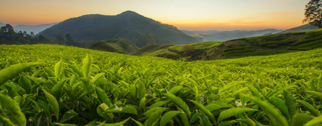 Tea Growing Camillestea